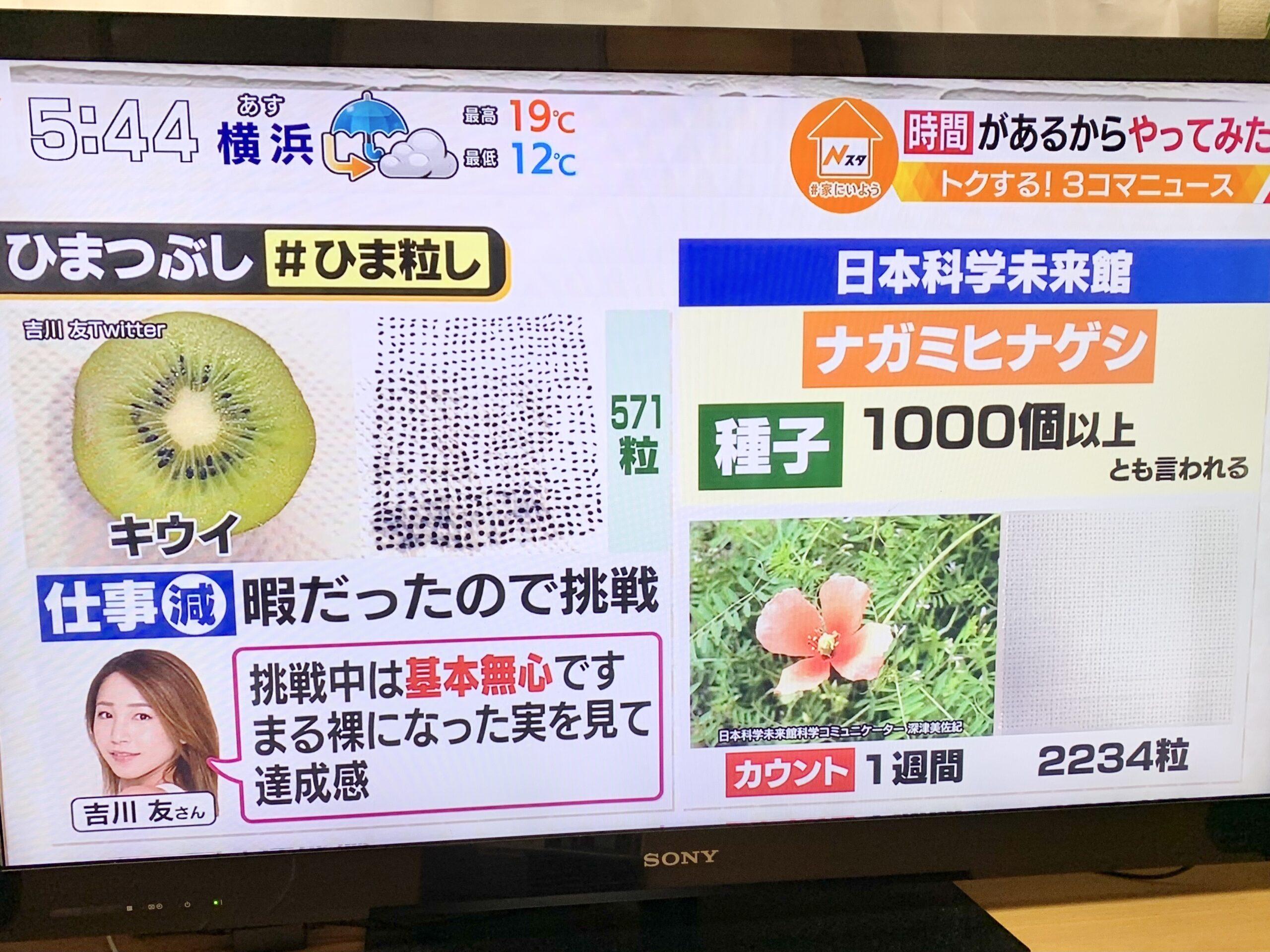 SNSで紹介したナガミヒナゲシの種子がTBSテレビ「Nスタ」で紹介されました